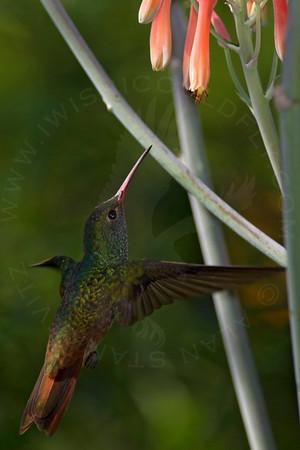 Hummingbird, Buff-Bellied