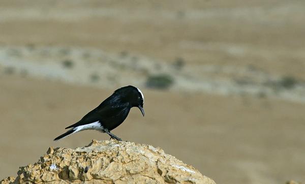 White-crowned Black Wheatear (Oenanthe leucopyga) - סלעית שחורת בטן