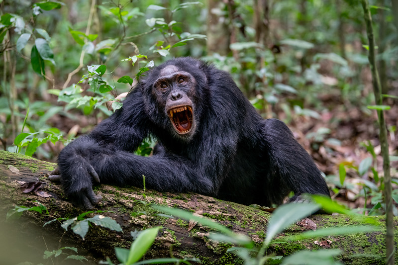 Uganda_T_Chimps-347.jpg