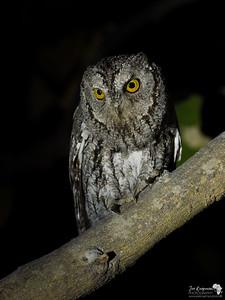 African Scops Owl Portrait