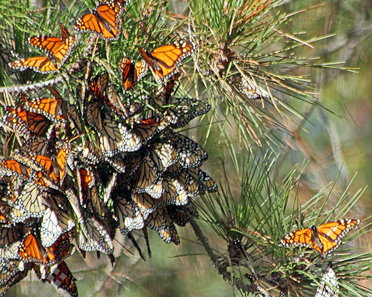 Wintering Monarchs ~ This cluster of Monarch Butterflies was in the grove of eucalyptus and pine trees in Pismo Beach, site of the Monarchs' wintering grounds.