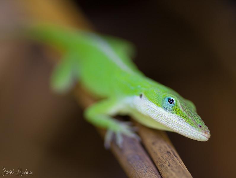 Kauai Lizard 6