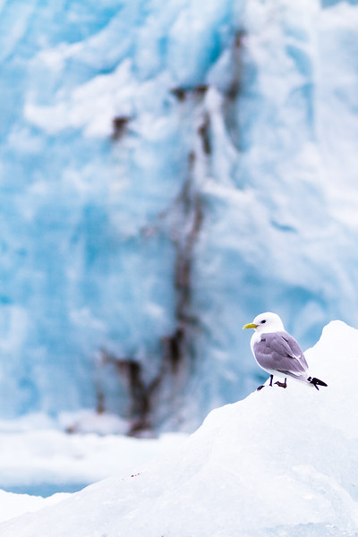 Kittiwake on ice