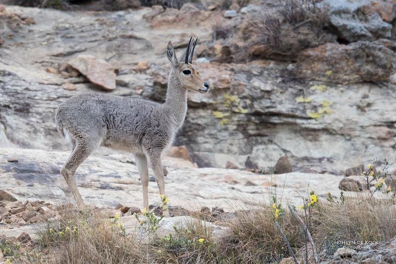 Grey Rhebok, Goldengate NP, FS, SA, Oct 2016-3.jpg