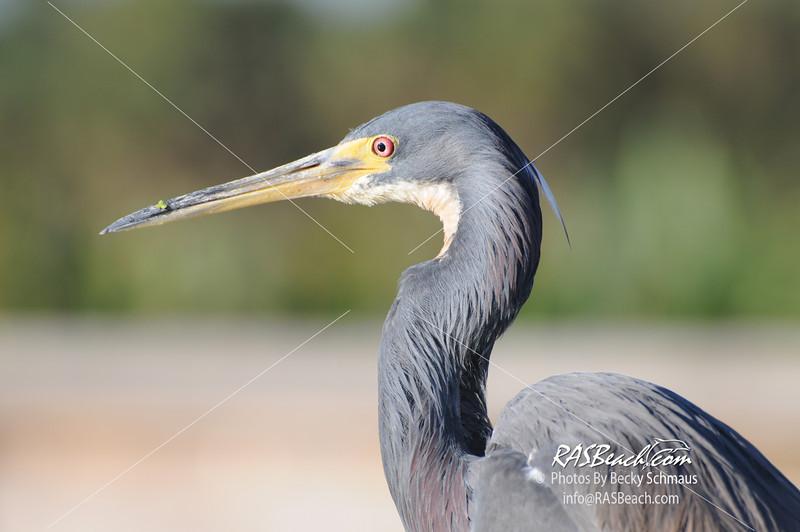 Tri-Colored Heron (Louisiana Heron)_339