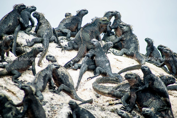 """Wildlife, landforms & landscapes of the Galapagos Islands.<br /> Marine iguana gathering. <br /> The Marine Iguana (Amblyrhynchus cristatus) is an iguana found only on the Galápagos Islands<br /> Photos, prints & downloads SEE ALSO:  <a href=""""http://www.blurb.com/b/3551540-galapagos-islands"""">http://www.blurb.com/b/3551540-galapagos-islands</a>"""