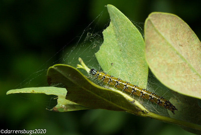 Genista Broom Moth caterpillar, Uresiphita reversalis, from Iowa.