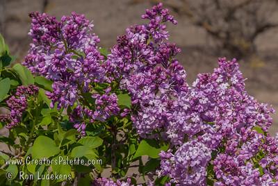 Lavender Lady Lilac - Syringa x hyacinthiflora 'Lavender Lady'