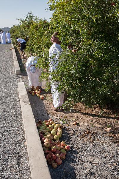 Pomegranate - Aljabal Alakhdhar (27)-Aljabal Alakhdhar-Oman.jpg