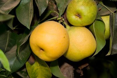Apple Pear (Nijisseiki) - Pyrus pyrifolia sp.