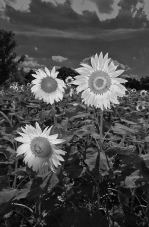 sunflowervertbw copy.jpg
