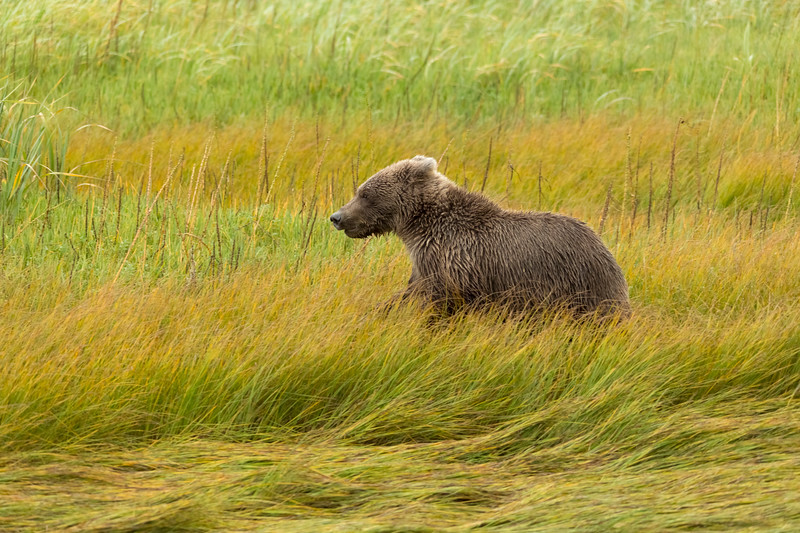 Coastal Brown Bear (Ursus arctos) cub running in the meadow, Silver Salmon Creek, Lake Clark National Park and Preserve, Alaska
