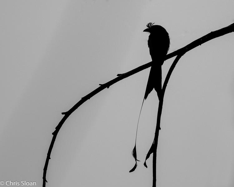 Greater Racket-tailed Drongo at Kampiline, Kerala, India (03-03-2015) 067-32-Edit.jpg