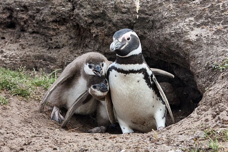 Magellanic Penguin and chicks