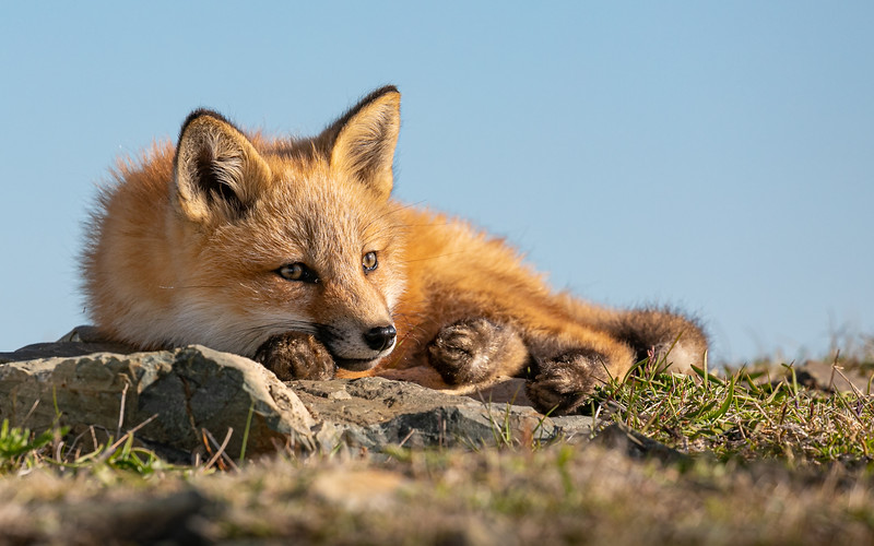 red fox kit paws -3412.jpg