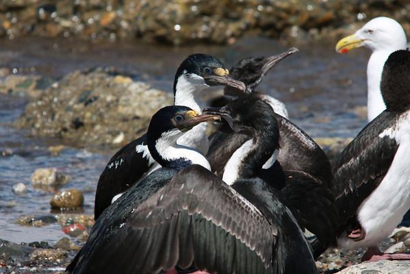 Cormoran Imperial Imperial Cormorant