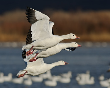 Swans/Geese