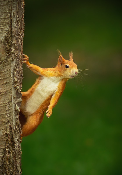 2020 - Red Squirrel 010