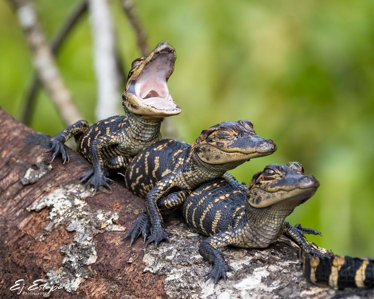 tres_gators2.jpg