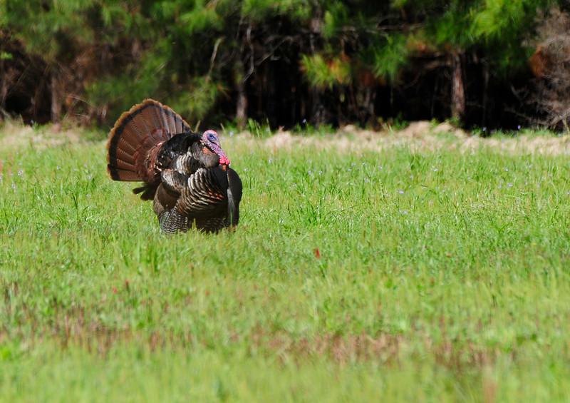 Wild Turkey Strutting_4.jpg