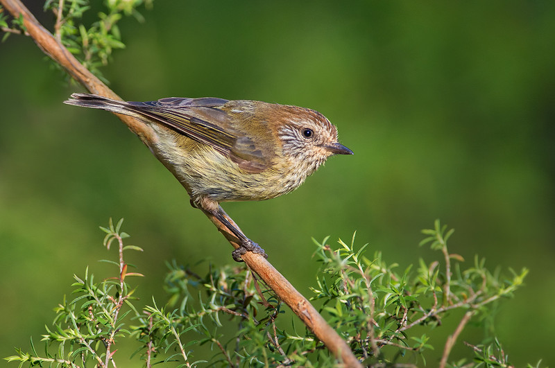 Striated Thornbill - Acanthiza lineata (Walkerville South, Vic)
