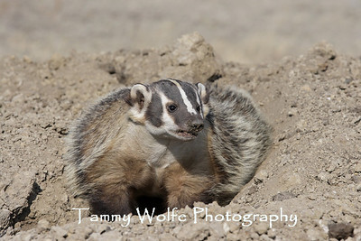 Badgers, Fishers, Minks, Otters and Weasels