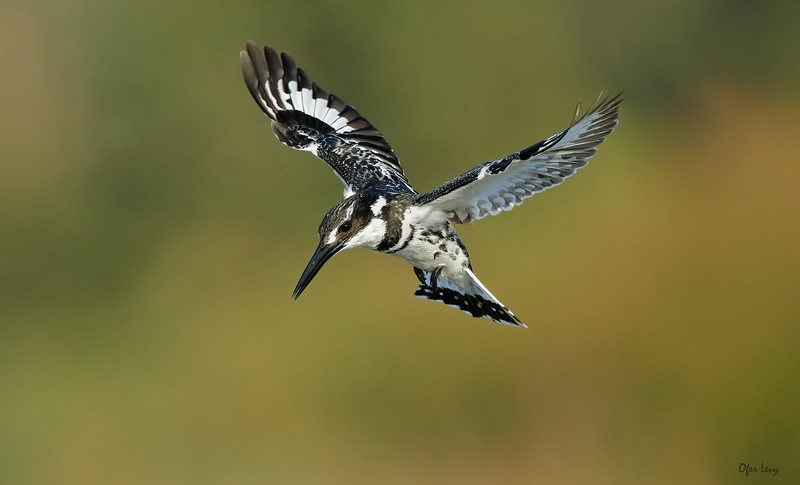 Pied Kingfisher hovering.jpg