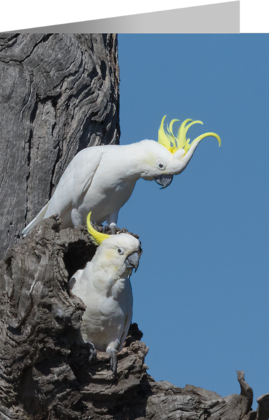 Sulphur-crested Cockatoo.png