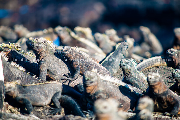 "Wildlife, landforms & landscapes of the Galapagos Islands.<br /> The Marine Iguana (Amblyrhynchus cristatus) is an iguana found only on the Galápagos Islands<br />  Photos, prints & downloads SEE ALSO:  <a href=""http://www.blurb.com/b/3551540-galapagos-islands"">http://www.blurb.com/b/3551540-galapagos-islands</a>"