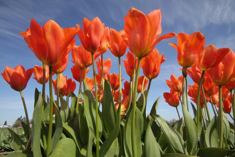 Tulips 08  22.JPG