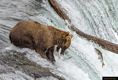 The Bears of Katmai  -  Jules' Gems Blog Post April 2020