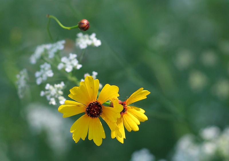 Small yellow flowers, Wichita, Kansas.