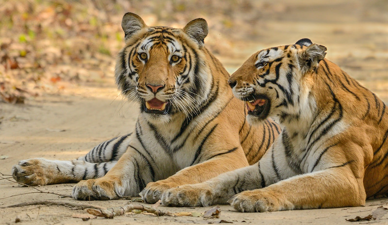 Cub-and-mother-Corbett-Bijrani.jpg