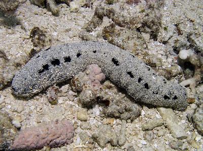 holothuriids - Holothuria spp.