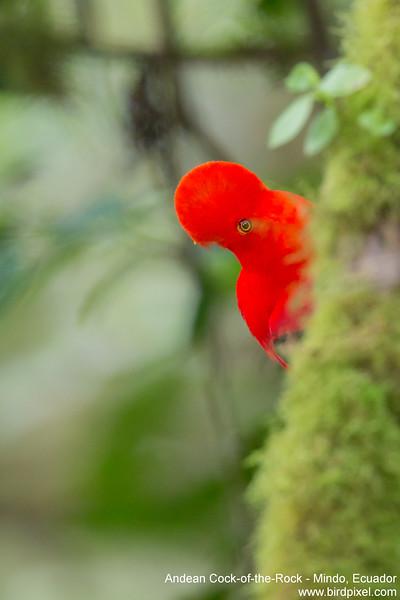 Andean Cock-of-the-Rock - Mindo, Ecuador