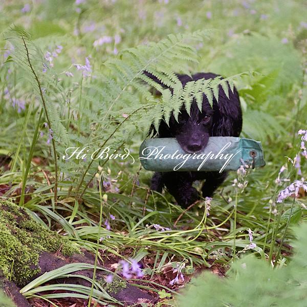 black cocker  119.jpg