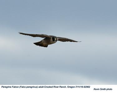 Peregrine Falcon A92962.jpg