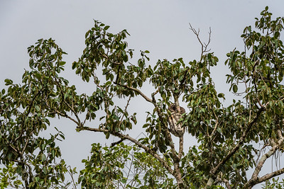 Brown sloth in the tree top hanging on a limb
