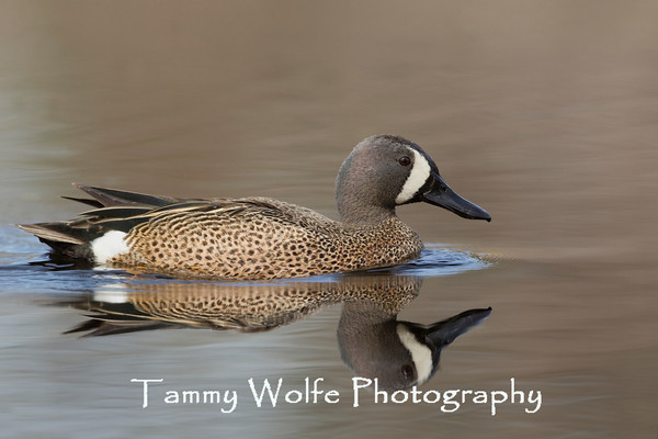 Duck, Blue-Winged Teal
