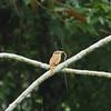 2017_ barred puffbird eats boa_Darien_AQ3T4403