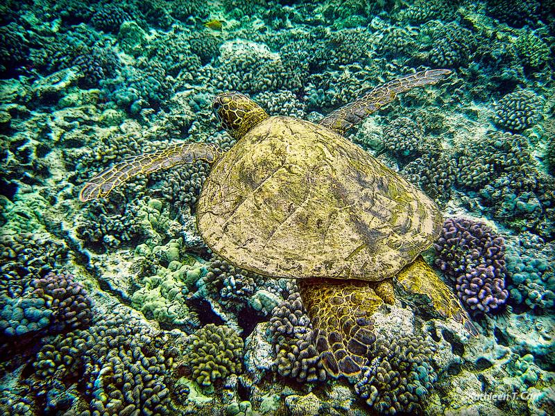 Turtle over Coral_6099adjPEcrp.jpg