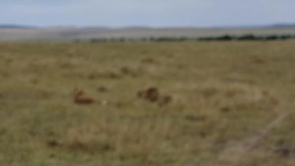 Lion Videos ..