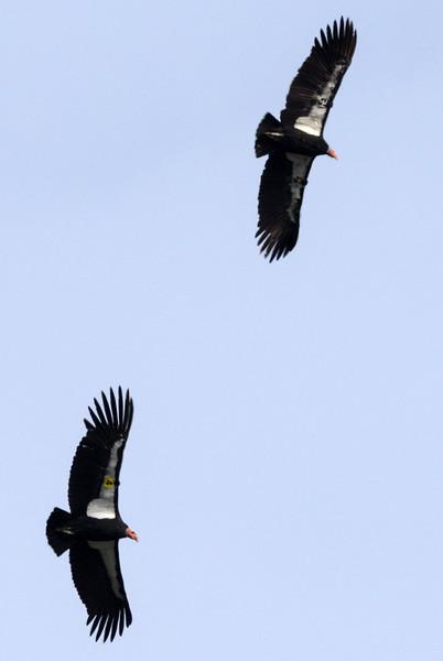 """California Condors (4 Yellow 204) & (34 Black, 534)  """"Amigo & Yawtanin"""""""