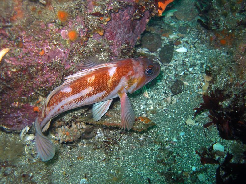 Copper Rockfish turning tale, Santa Cruz Island, CA