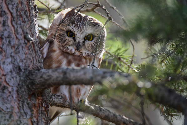 10-21-16 *^Northern Saw-whet Owl