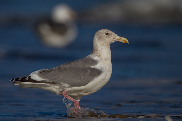Hybrid Gulls