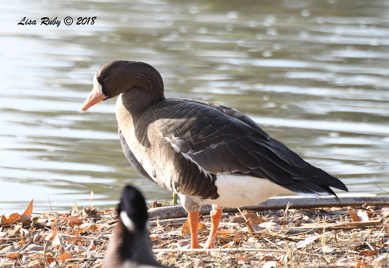 Greater White-Fronted Goose - 1/14/2018 - Lindo Lake