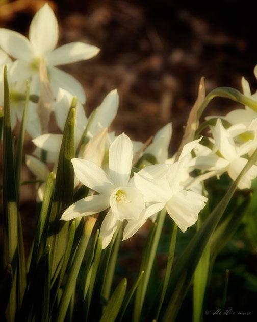 narcissus, daffodil, sunshine, light