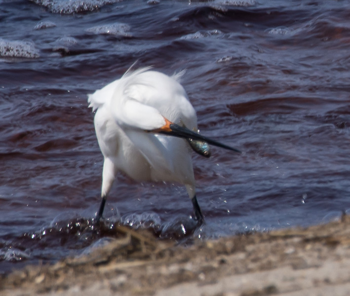 Snowy Egret with dinner.