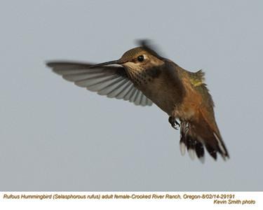 Rufous Hummingbird F29191.jpg